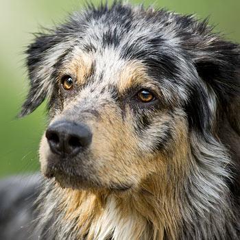 DAPZWD-dierenartsen-meppel_square_honden