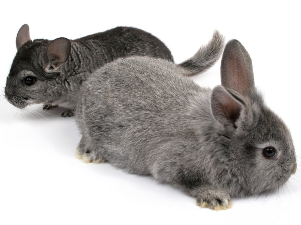 DAPZWD_dierenartsenpraktijk-meppel_content-chinchilla-konijn