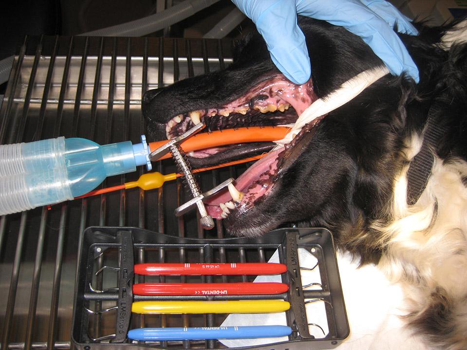 Tandsteen hond gebit