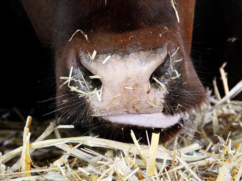 DAPZWD_dierenartsenpraktijk-meppel_content-koeien-eten