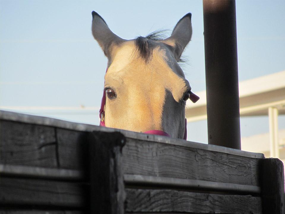 DAPZWD_dierenartsenpraktijk-meppel_content-paarden-kijken
