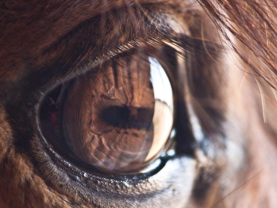 DAPZWD_dierenartsenpraktijk-meppel_content-paarden-oog