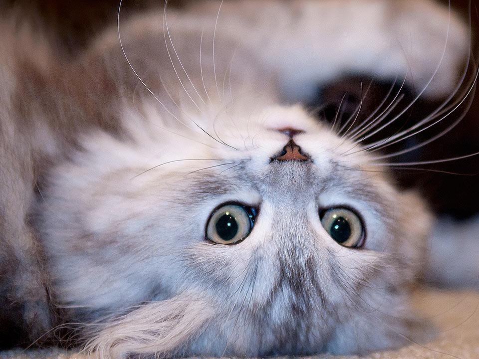 DAPZWD_dierenartsenpraktijk-zuidwest-drenthe_content_kitten