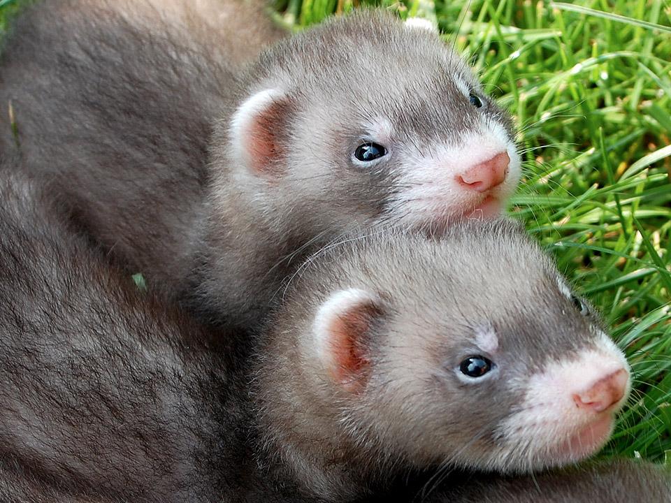 DAPZWD_dierenartsenpraktijk-zuidwest-drenthe_fret-castratie