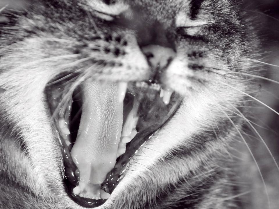DAPZWD_dierenartsenpraktijk-zuidwest-drenthe_kat-gebit-2