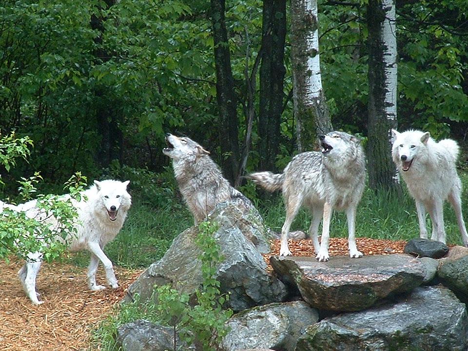 DAPZWD_dierenartsenpraktijk-zuidwest-drenthe_content_rangorde-wolfpack