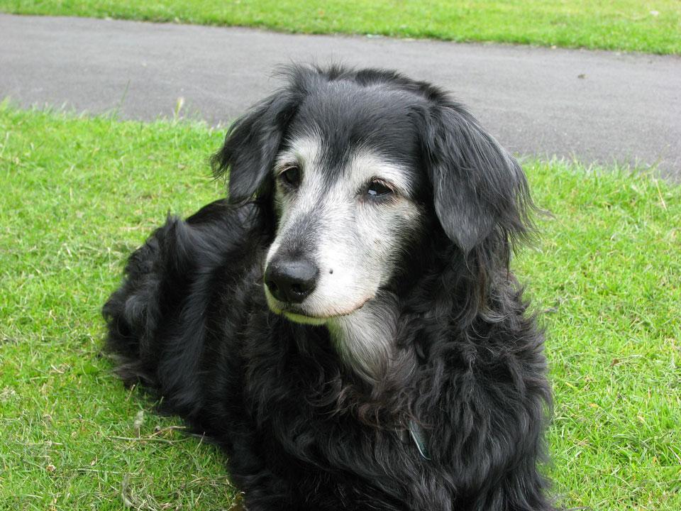 Arthrose hond oudere hond